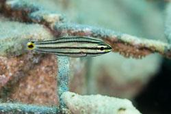 BD-121127-Aqaba-7224-Cheilodipterus-quinquelineatus.-Cuvier.-1828-[Fivelined-cardinalfish].jpg